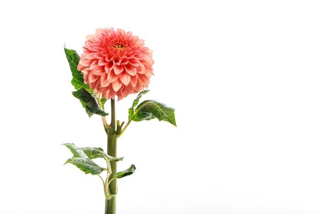 Fleur de dahlia frais rose sur mur blanc
