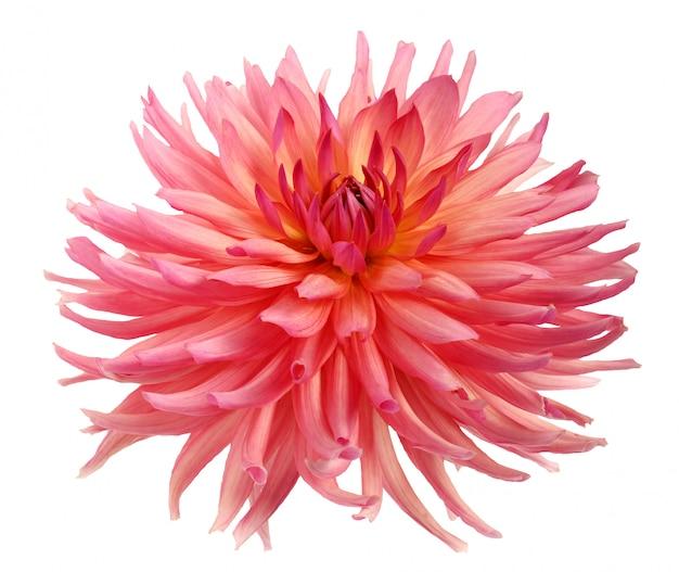 Fleur de dahlia rose isolée.