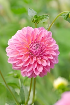 Fleur de dahlia rose