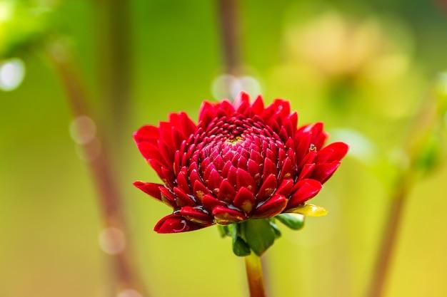 Fleur de dahlia rouge avec des gouttes de pluie dans le jardin, flou artistique.