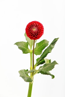 Fleur de dahlia rouge isolé sur blanc, carte de voeux
