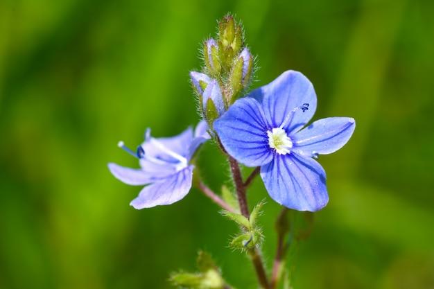 Fleur délicate d'un champ violet a fleuri dans le champ