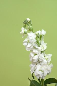 Fleur de delphinium blanc pour le fond