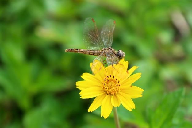 Fleur diasy dans la nature
