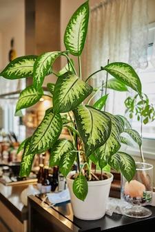 Fleur de dieffenbachia ou dumbcane dans un pot dans une cuisine à domicile, pour la décoration intérieure.