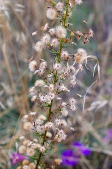 Fleur de dittrichia graveolens