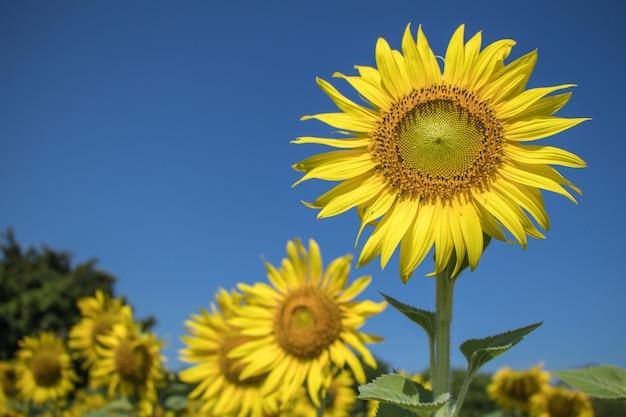 Fleur du soleil dans les champs. beau fond de fleurs du soleil.