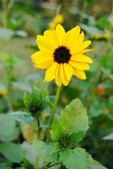 Fleur du soleil dans le jardin