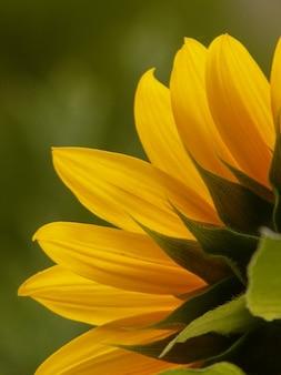 Fleur du soleil helianthus annuus fleur langue