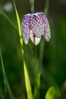 Fleur d'échecs au début du printemps dans le pré des inondations. fritillaire à tête de serpent (fritillaria meleagris)