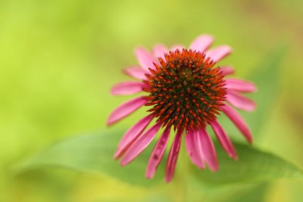 Fleur d'échinacée échinacée rose gros plan sur un mur vert flouhealing herbes et fleurs utiles homéopathie et traitement alternatif