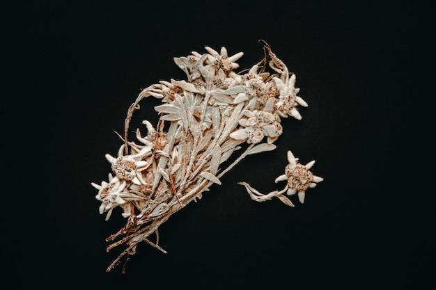 Fleur d'edelweiss séchée isolée sur fond noir.