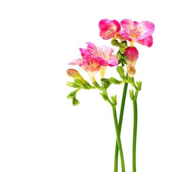Fleur d'été fleurs roses isolés sur blanc