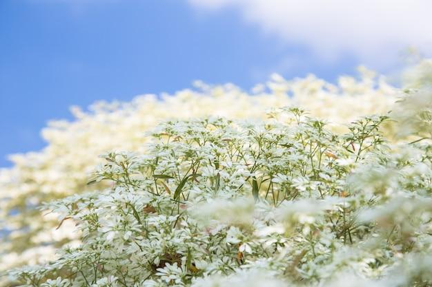 Fleur d'euphorbe avec ciel bleu