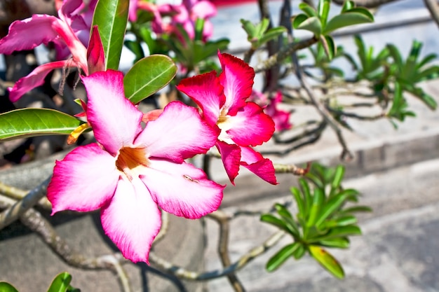 Fleur exotique rouge dans le jardin du grand palais, bangkok, thaïlande