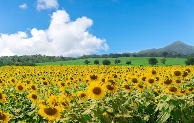 Fleur de ferme sur le ciel de tournesol et de montagnes
