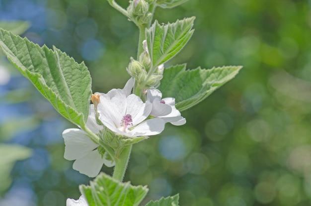 Fleur et feuille de guimauve