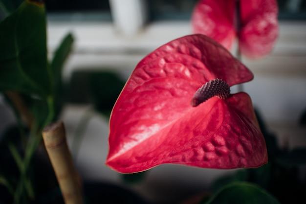 Fleur flamingo fraîche ou fleur de garçon dans le jardin.