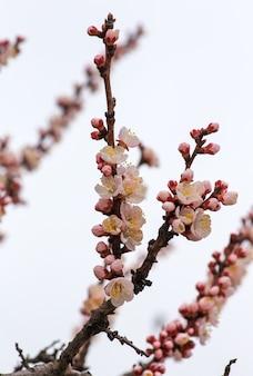 Fleur de fleur d'abricotier. abricot à floraison printanière