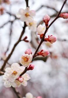 Fleur de fleur d'abricotier. floraison printanière
