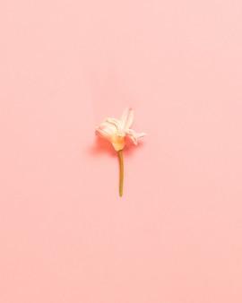 Fleur de fleur blanche de printemps sur une surface rose. mise à plat, vue de dessus. concept minimaliste