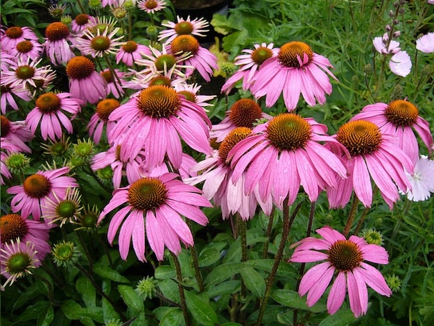 Fleur de fleur echinacea purpurea flore floraison