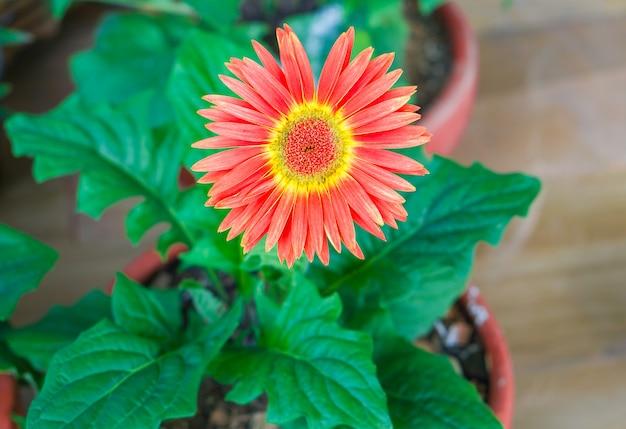 Fleur de fleur de gerbera rouge