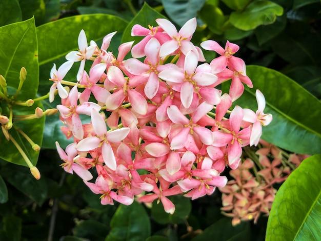Fleur de fleur d'ixora rose dans un jardin
