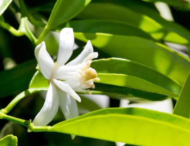 Fleur fleur d'oranger au printemps dans la pollinisation