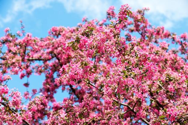 Fleur fleurir sur l'arbre sur le ciel bleu. fleur fleur avec pétales roses au printemps.