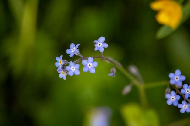 Fleur de fleurs bleues macro in field green