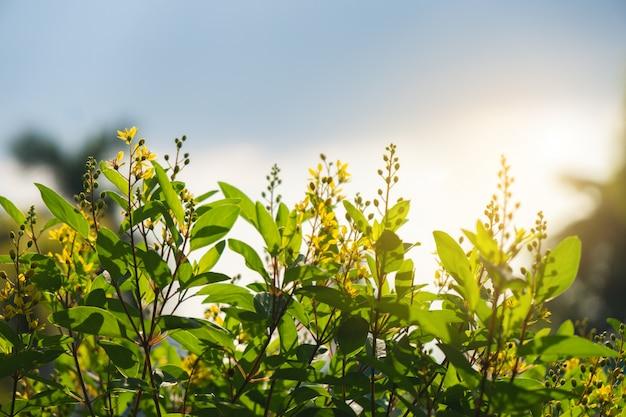 Fleur de floraison jaune et soleil backlight.