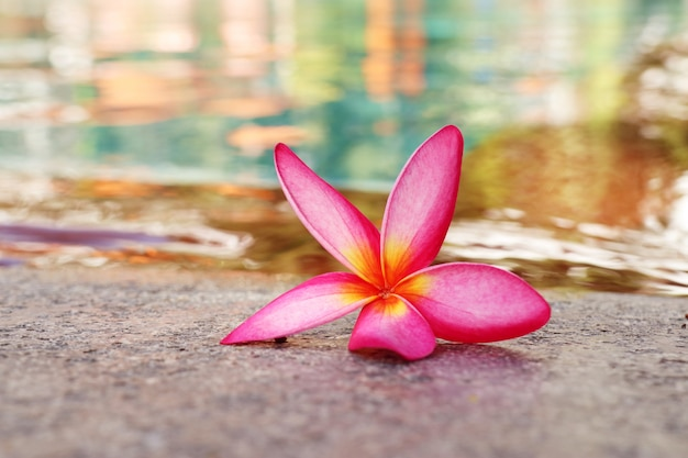 Fleur de frangipanier au bord de la piscine