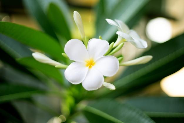 Fleur de frangipanier aux feuilles vertes