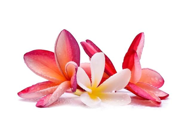 Fleur de frangipanier avec des gouttelettes d'eau sur fond blanc