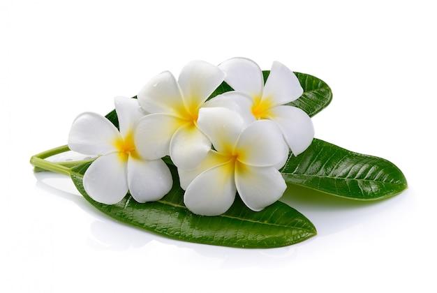 Fleur de frangipanier isolé blanc espace