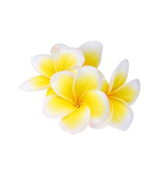 Fleur de frangipanier isolé sur fond blanc