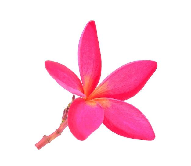 Fleur de frangipanier isolé