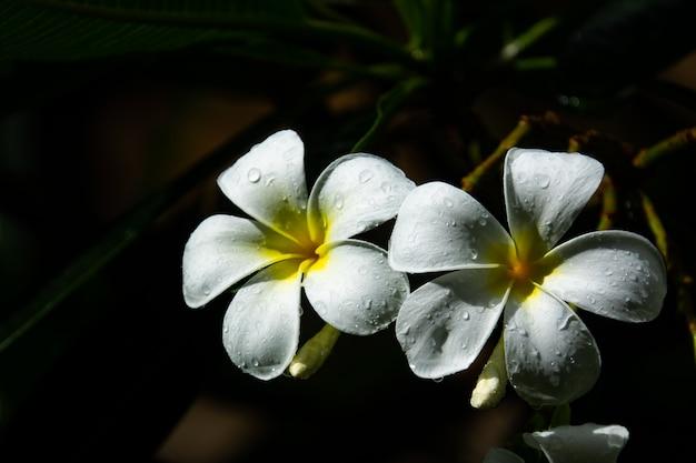Fleur de frangipanier ou de plumeria et gouttelettes d'eau sur fond noir