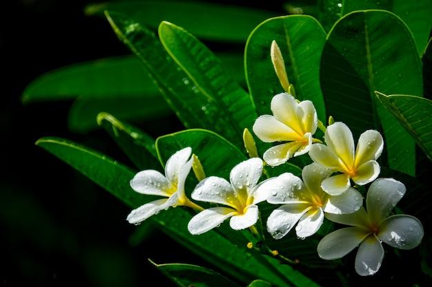 Fleur de frangipanier ou de plumeria et gouttelettes sur fond noir
