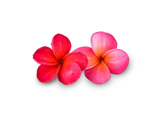 Fleur de frangipanier plumeria isolé
