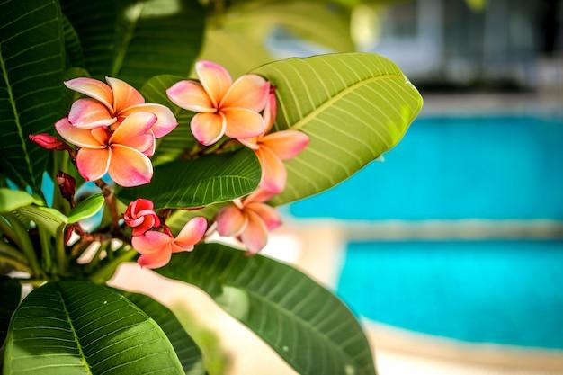 Fleur de frangipanier plumeria rose orange.