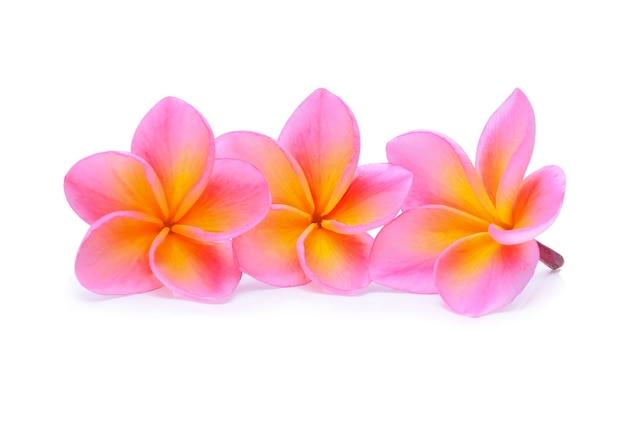 Fleur de frangipanier rose isolé sur fond blanc.