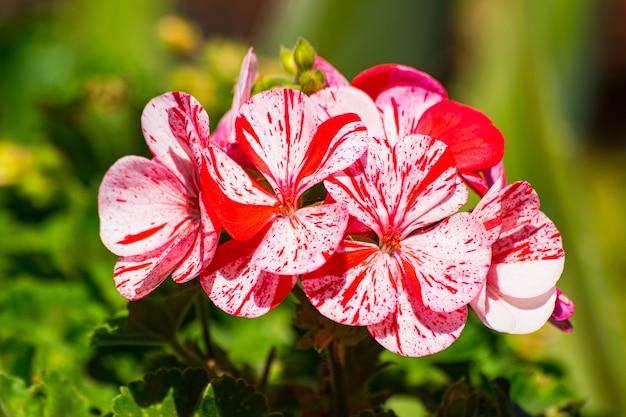 Fleur de géranium blanc et rouge
