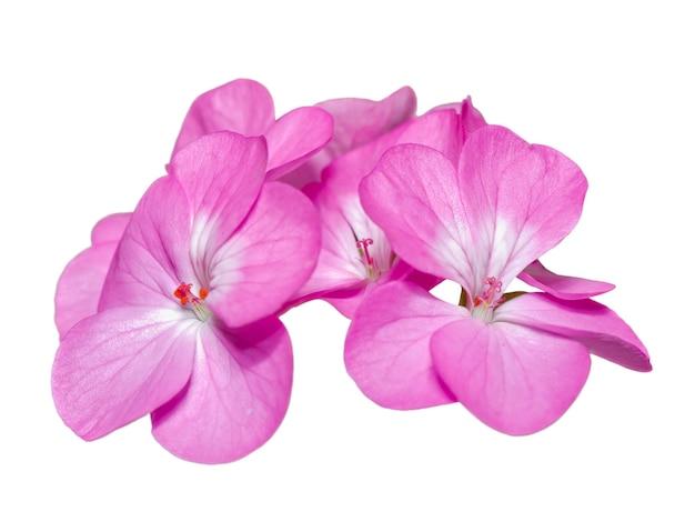 Fleur de géranium ou pelargonium hortorum gros plan beau groupe floral rose sur isolé, fleur sur fond blanc