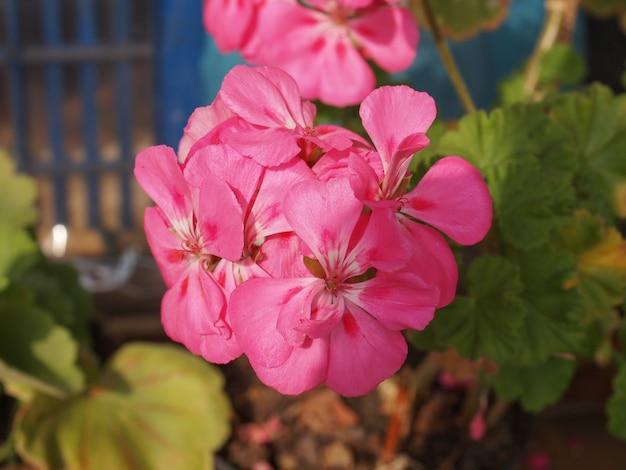 Fleur de géranium rose