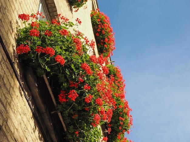 Fleur de géranium rouge sur ciel bleu