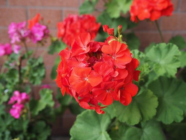 Fleur de géranium rouge