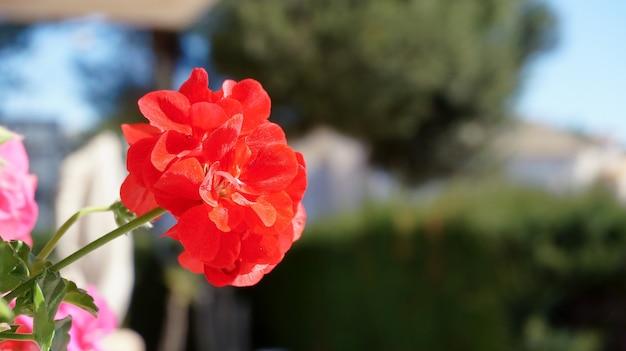 Fleur de géraniums rouge vif se bouchent sur l'arrière-plan flou