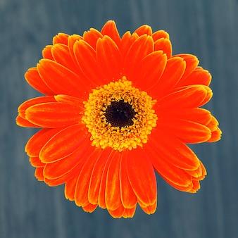 Fleur de gerber isolé sur fond marron